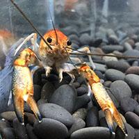 为何我饲养的一对虾都不交配?