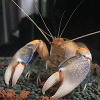 螯虾近亲交配会有甚么影响