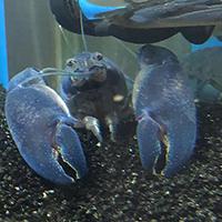 饲养鳌虾换水的频率大约是多久换一次?