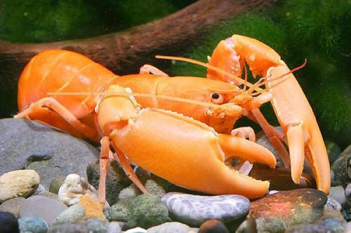 黄金巨手虾