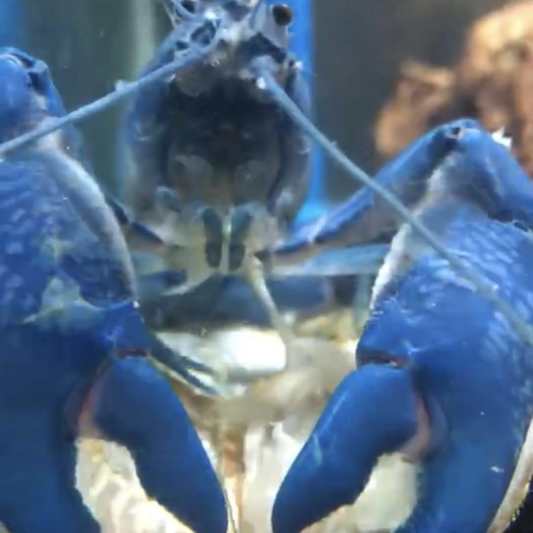 螯虾吃珍珠蚌,味道好极了