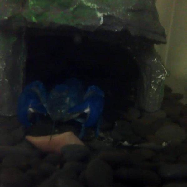 火腿肠也是鳌虾的最爱
