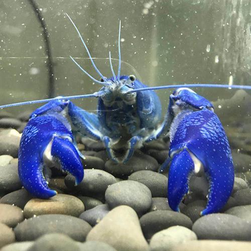 喜欢互动的人工天空蓝魔虾
