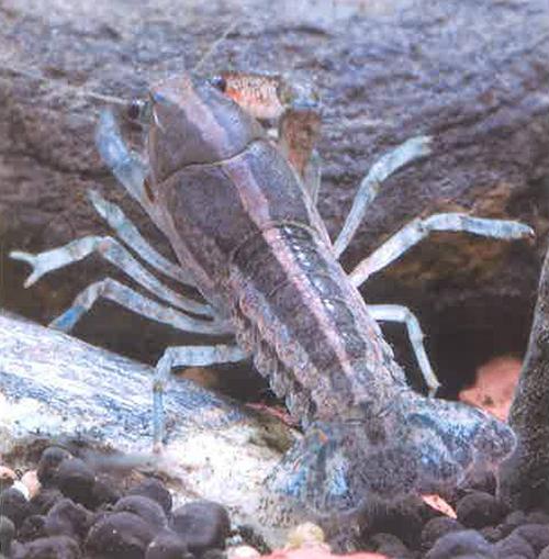 红颊侏儒螯虾