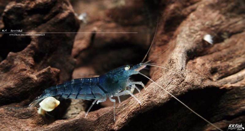 虎纹虾、蓝虎纹虾