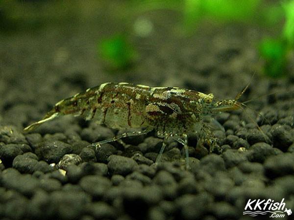 琉球新米虾
