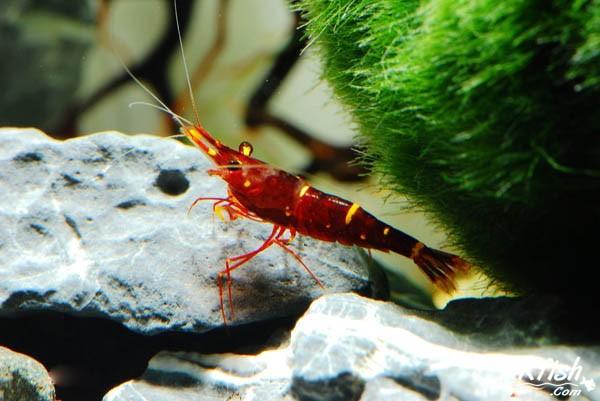 苏拉威西彩虹虾