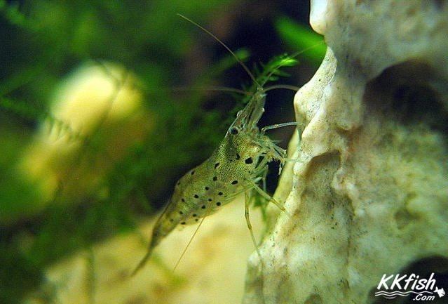 星点珍珠虾