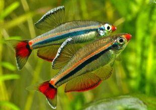 白云金丝鱼