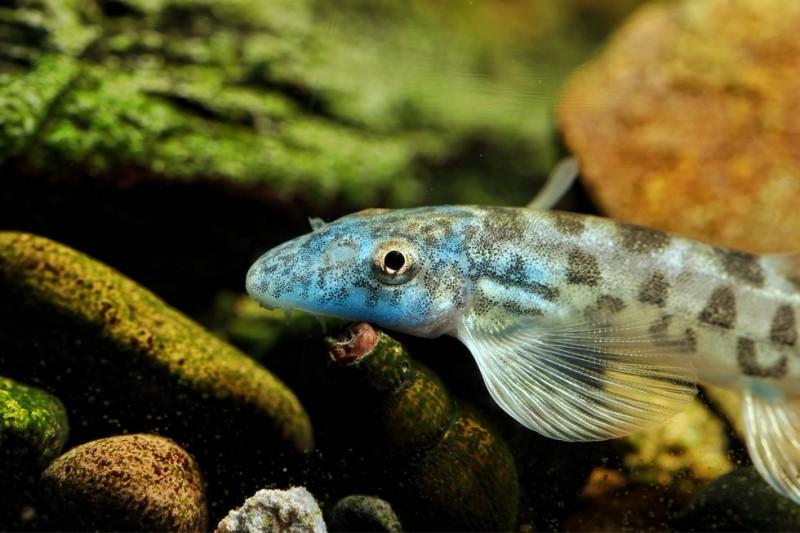 蓝头缨口鳅 原缨口鳅