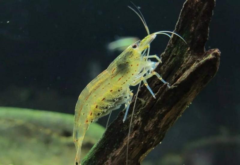 香港野生米虾