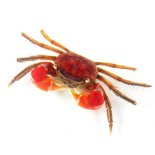 红螯相手蟹