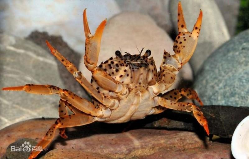 豹斑束腹蟹