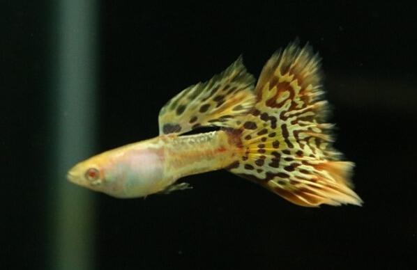 马赛克系孔雀鱼