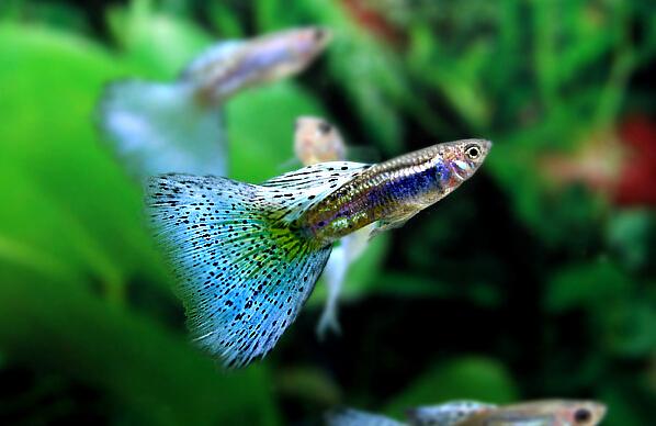 草尾系孔雀鱼