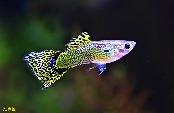 蛇王系孔雀鱼