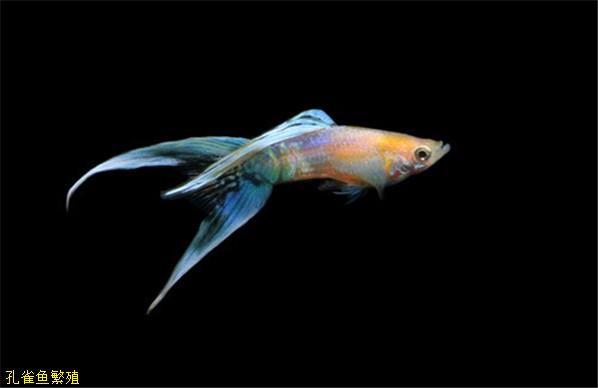 剑尾系孔雀鱼
