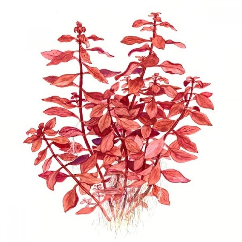 红叶水丁香