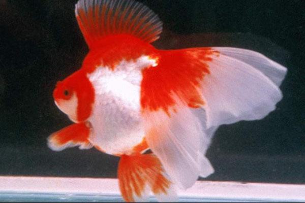 长尾红白琉金金鱼