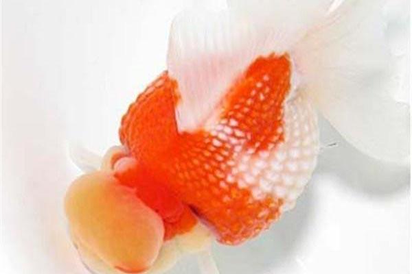 珍珠鳞金鱼