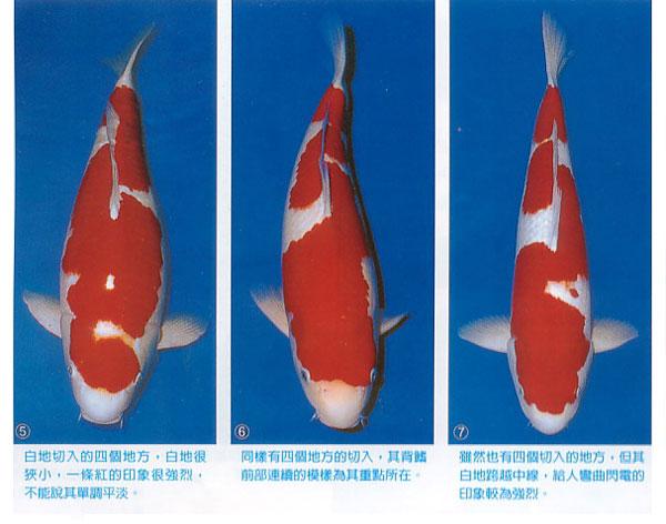 闪电红白锦鲤