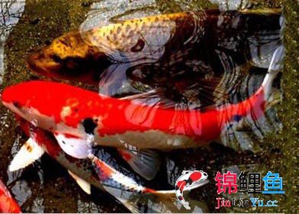 一条红红白锦鲤