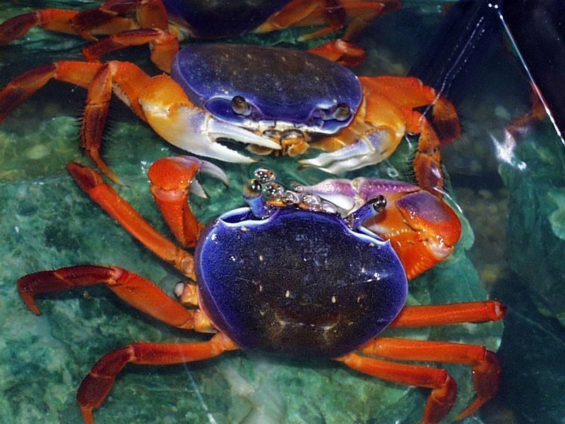 武装圆轴蟹 彩虹蟹