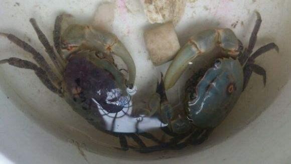 中华束腰蟹