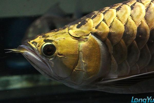金头金龙鱼
