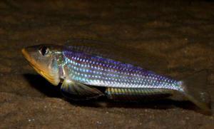 黄颚龙王鲷