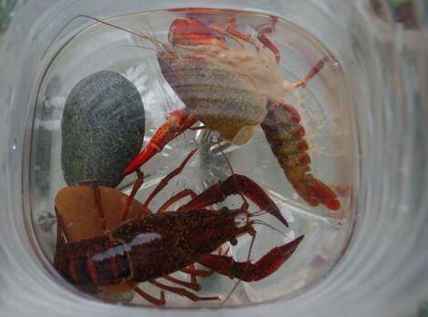 小龙虾脱壳的时候我们该怎么做?