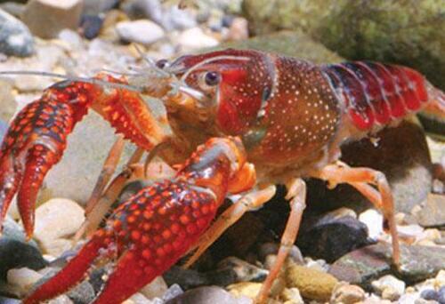 小龙虾养殖每一亩的成本及产出是多少?