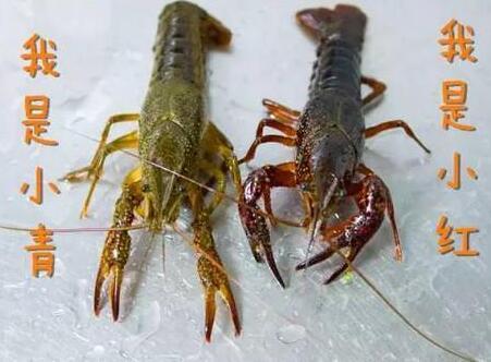 为什么会有青壳虾和红壳虾之分
