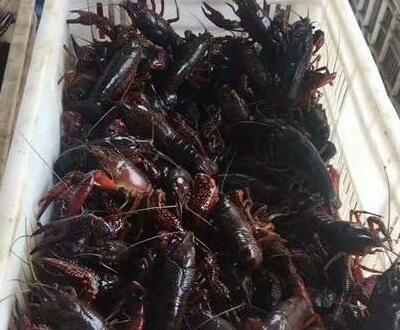 养殖小龙虾亏损?是你没注意这六个关键点!