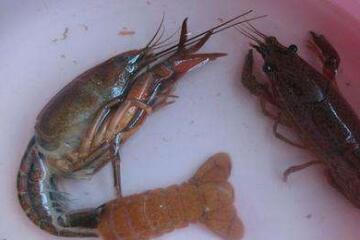 小龙虾脱壳时死亡的4个原因和4个预防措施