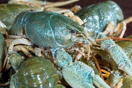 养殖青色小龙虾的四个关键技术