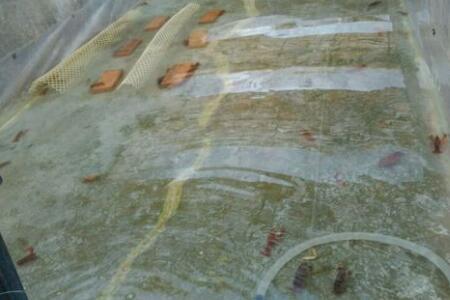 水泥池塘能否养殖小龙虾?