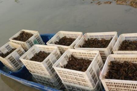 小龙虾养殖密度过大怎么办?