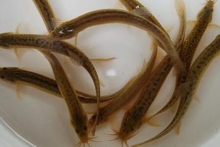 稻田小龙虾和泥鳅混养重要环节分享