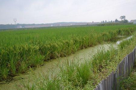 小龙虾稻田高效生态养殖技术分享