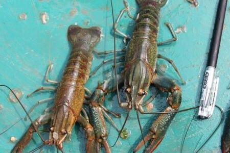 澳洲淡水小龙虾养殖技术分享