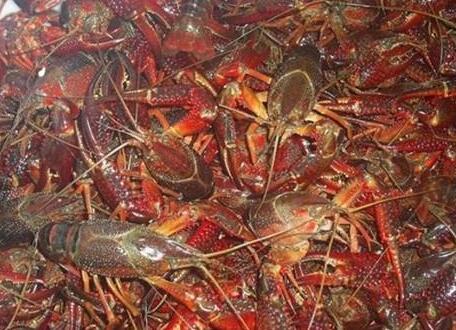 小龙虾长不大的7个原因