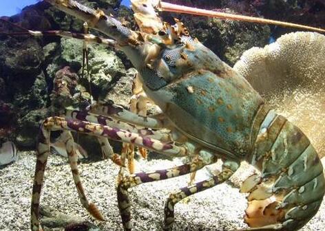 澳洲淡水龙虾养殖是骗局吗?