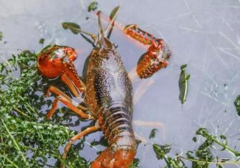 【小龙虾养殖技术】小龙虾养殖需要经常换水吗