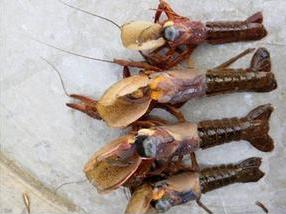 小龙虾偷死病症状以及预防措施