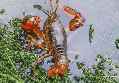 养殖一亩小龙虾需要投资多少钱?