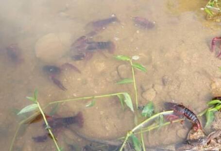 秋季小龙虾养殖的五大要点解析!