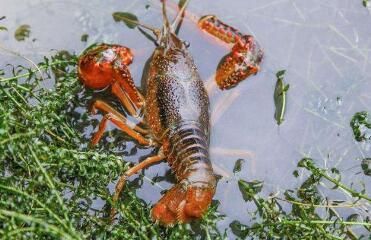 怎么判断小龙虾投喂饲料是否满足