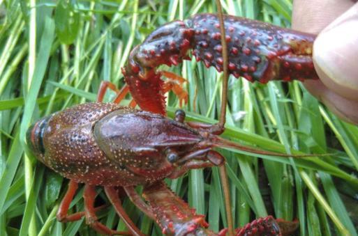 一般喂小龙虾吃什么饲料好?