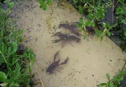 小龙虾养殖最佳水深多少合适?